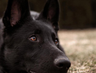 Are Black German Shepherd's Different?