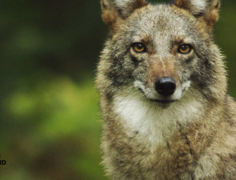 The New Species of Canine that's Part German Shepherd